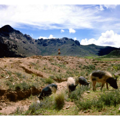 Swine Herder
