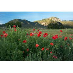 El Salto Poppy Field